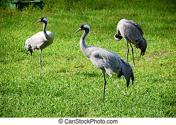 red-crowned crane Grus grus on green grass