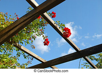 flowers in blossom - blossoming woodbine rose flowers on...