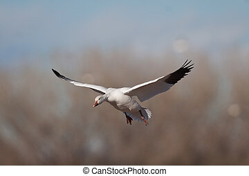 snow goose in flight at Bosque Del Apache National Wildlife...