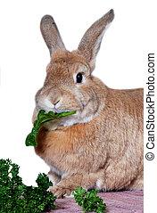 Rabbit eating vegetables - Rabbit eating chard leaf