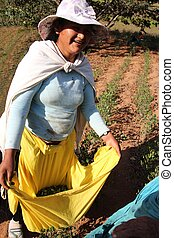 Woman in Bolivia harvesting coca showing her leaves - Woman...