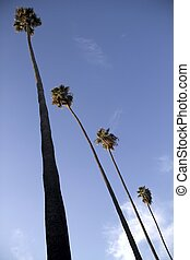 Four Tall Palm Trees - Four tall palm trees next to each...