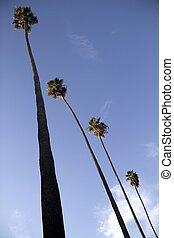 Four Tall Palm Trees - Four tall palm trees next to each...