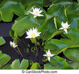 white lotus flower - white lotus flower  in the river