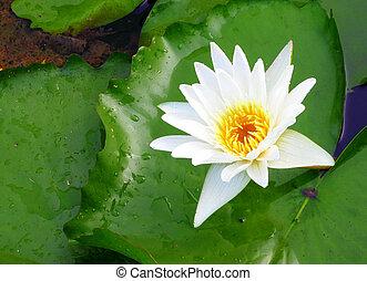white lotus flower blooming in river