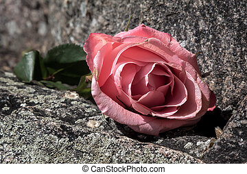 Love on the Rocks - Discarded Faded Rose atop Rocks