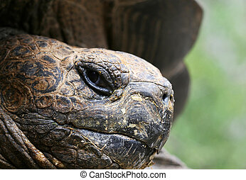 Giant Galapagos Tortoise Face