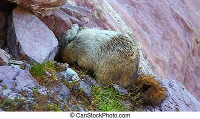 Hoary Marmot (Marmota caligata) searching for food in...