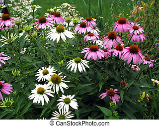 coneflower - backyard garden coneflowers blooming with...