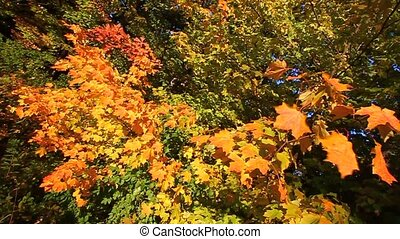 Autumn Leaves in Breeze - Autumn leaves sway in a gentle...