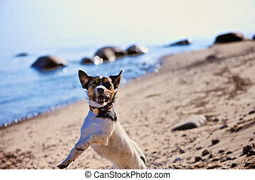 Spirited Dog - Jack Russell terrier playing at the seashore