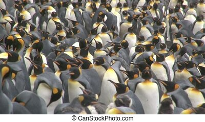 King Penguin Aptenodytes patagoni - King Penguin colony