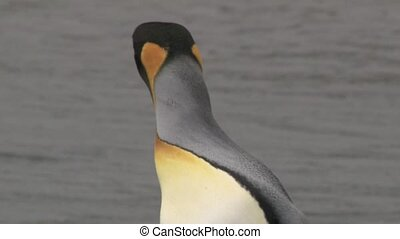 King Penguin (Aptenodytes patagoni) - King Penguin portrait