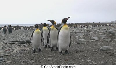 King Penguin Aptenodytes patagoni - King Penguin standing on...