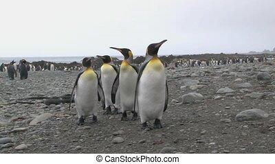 King Penguin ( Aptenodytes patagoni - King Penguin standing...