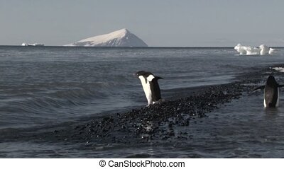Adelie Penguin hesitate to go into the water
