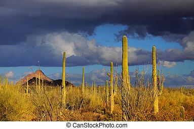 Saguaro national park - Tall saguaro cactus in Saguaro...