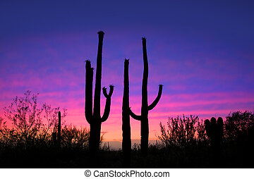Saguaro cactus - Tall saguaro cactus plants against evening...