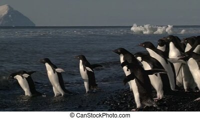Adelie Penguin running into the water