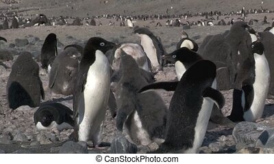 Adelie Penguin feeding chick