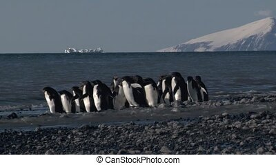 Adelie penguin - Adelie Penguin hesitate to go into the...