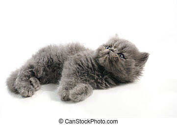 Little persian cat - Portrait of small persian cat isolated...