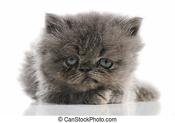 Persian kitten - Close up portrait of adorable small persian...