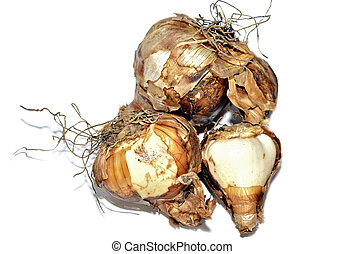 Daffodil Flower Bulbs - A group of daffodil bulbs ready to...