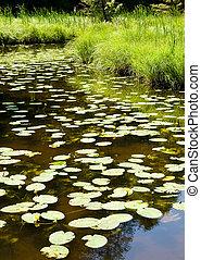 waterplants in a little lake