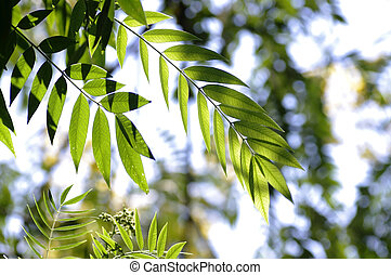American Cassia leafs - Green leafs of the American Cassia...