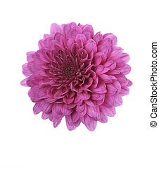 Purple Mum Flower - Fall Mum Flower On White Background