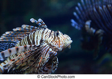 Lion Fish - Beautiful Lion Fish