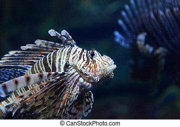 Lion Fish - Beautiful Lion Fish