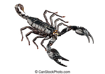 palamnaeus fulvipes - Black scorpion species palamnaeus...