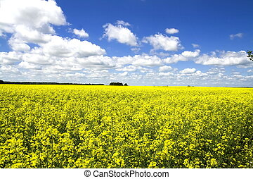 Yellow colza field - Yellow canola field in Lithuania -...