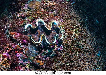 Giant clam Tridacninae on a reef in Bali