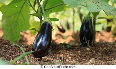 Eggplants in the bushes in the garden