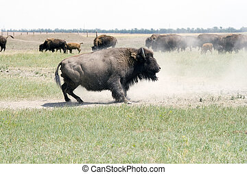 Bison - The herd of bisons is grazed in steppe