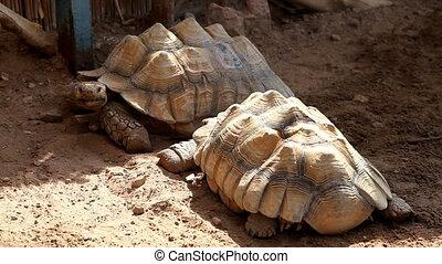Giant tortoise Underwater Observatory Marine Park Eilat,...