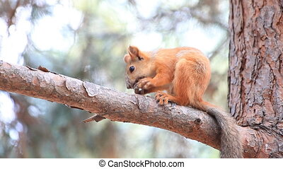 Squirrel gnawing a nut - Squirrel sitting on a branch and...