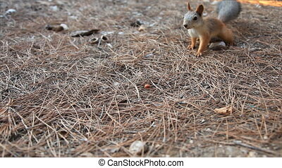 Squirrel in the woods collecting nuts
