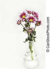 Fresh pink chrysanthemums on white background