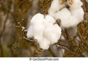 Cotton Ready for Harvest - Macro image of cotton on plant...