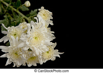 beauty white chrysanthemum flowers on black background