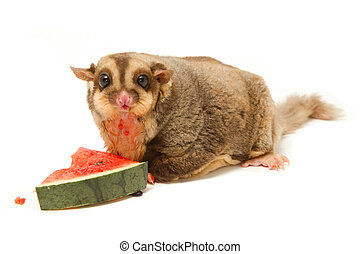 fat sugar-glider eatting melon on white background