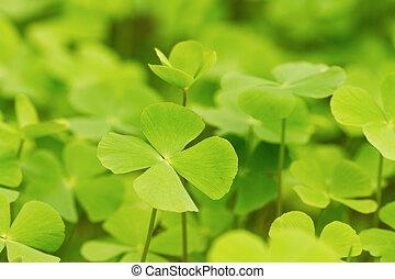Green Clover leaf background