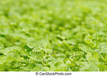 Green Clover leaf background