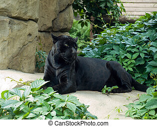Jaguar (Panthera onca) - Black Jaguar (Panthera onca)