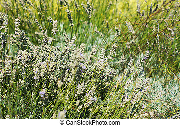 Field of Lavander plant with flowers