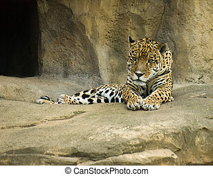 Jaguar Panthera onca - Big Jaguar Panthera onca lie beside a...